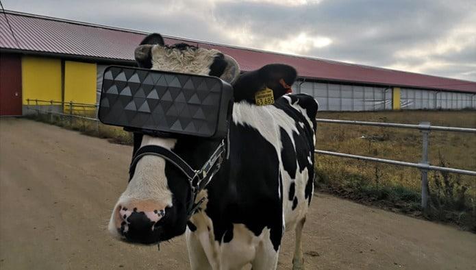VR Cows